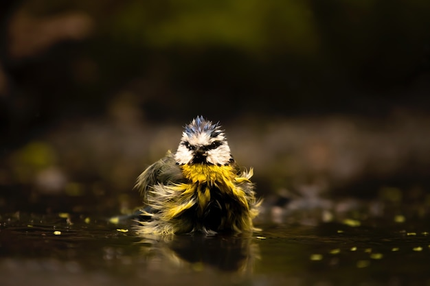 재미있는 입욕 유라시아 푸른 가슴의 근접 촬영, 흐린 배경에 작은 참새목 새