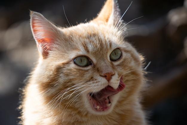 面白い生姜猫のクローズアップはその唇をなめる面白いペット