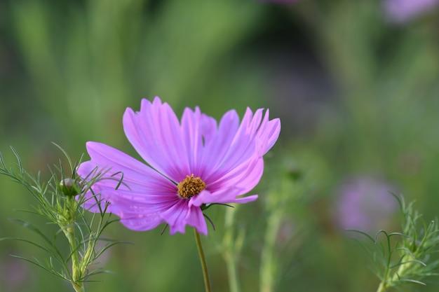 햇빛 아래 필드에 녹지로 둘러싸인 정원 코스모스의 근접 촬영