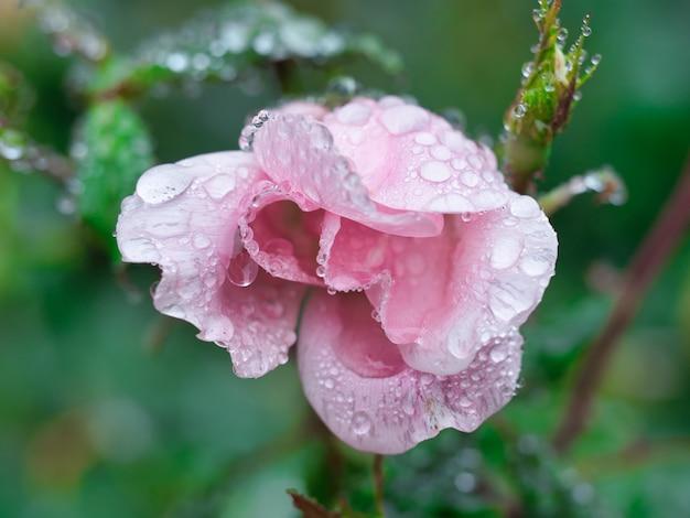 정원의 근접 촬영은 녹지로 둘러싸인 그것에 물 방울과 장미