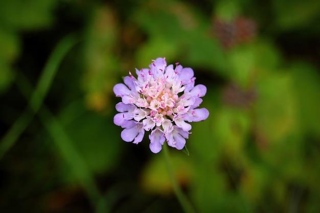 庭で日光の下でgillyflowerのクローズアップ