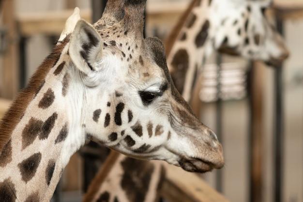 Крупным планом жирафа в окружении заборов и жирафов