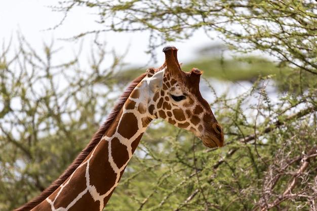 Крупный план жирафа с много заводов