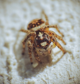바닥에 털이 많은 점프 거미의 근접 촬영