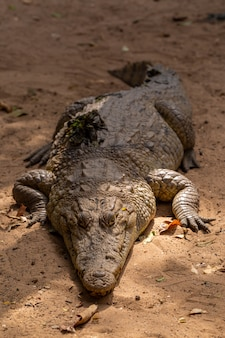 Крупным планом огромный крокодил ползет по земле в сенегале