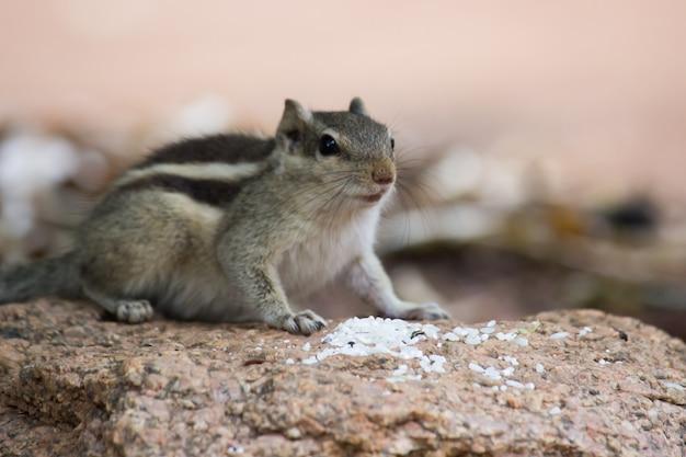 インドのパームリスまたは齧歯動物のクローズアップ、または岩の上に座っているシマリスとしても知られています