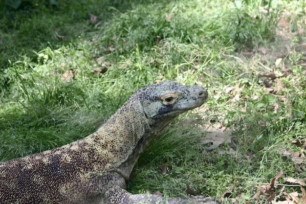 Крупный план дракона комодо в окружении зелени под солнечным светом