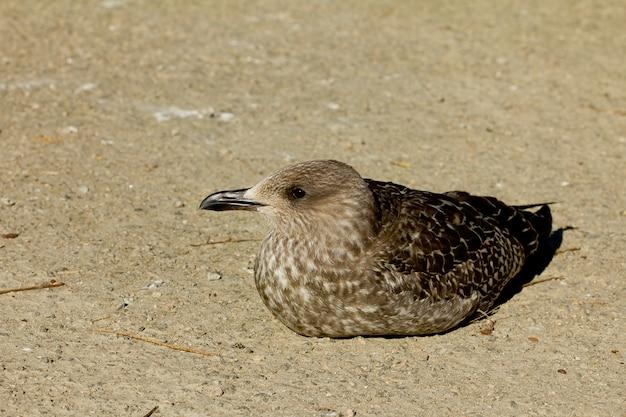 Крупный план larus fuscus или малой черной чайки на открытом воздухе в дневное время