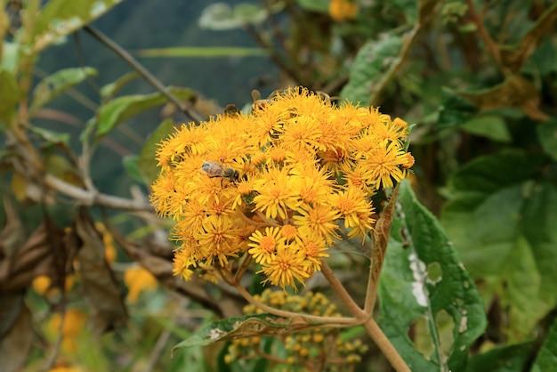 ペルー、クスコ、マチュピチュの城塞、ワイナピチュ山の活気に満ちた黄色い野生の花に蜜を集める小さな蜂のクローズアップ