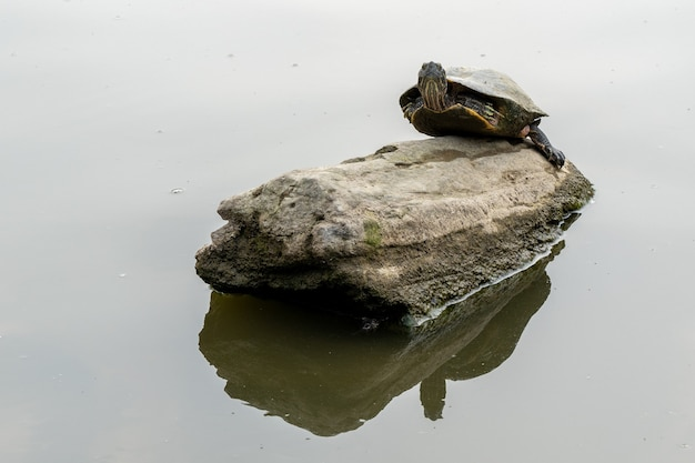 호수에 있는 바위에 쉬고 있는 외로운 거북이의 근접 촬영