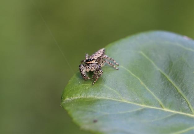 햇빛 아래 잎에 marpissa muscosa의 근접 촬영