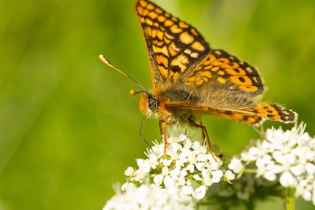植物の湿地のfritillary蝶のクローズアップ