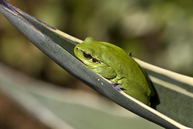 흐린 배경으로 햇빛 아래 잎에 지중해 나무 개구리의 근접 촬영