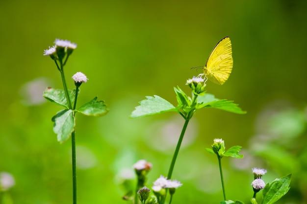 黒いスーザンの花の蝶の蝶の拡大写真。