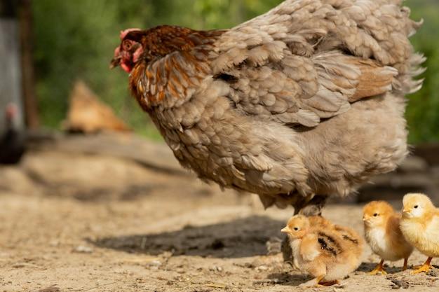 Крупный план курицы матери с цыплятами младенца на ферме. курица с цыплятами.
