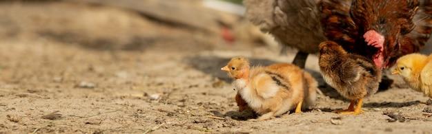 農場でその赤ちゃんのひよこと一緒に母鶏のクローズアップ。鶏の赤ちゃんと鶏。