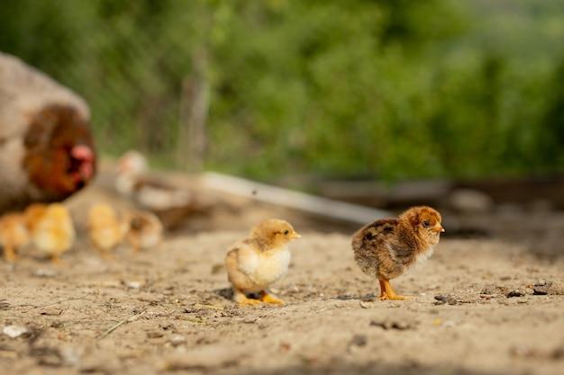 その赤ちゃんの雛と母鶏のクローズアップ