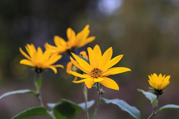 オレンジゴールドの庭の花のクローズアップ。エルサレムアーティチョーク、美しい黄色い秋の花