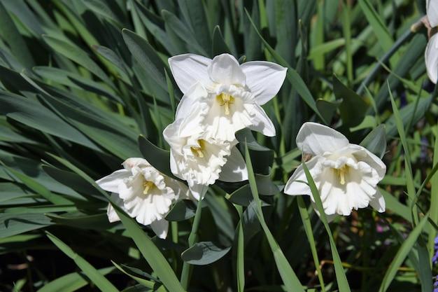 緑に囲まれたpaperwhite水仙の花のクローズアップ