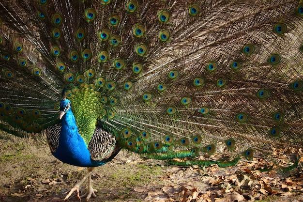 Крупным планом павлин с раскрытыми перьями в поле под солнечным светом