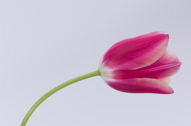 텍스트에 대 한 공간을 가진 흰색 배경에 고립 된 핑크 튤립 꽃의 근접 촬영