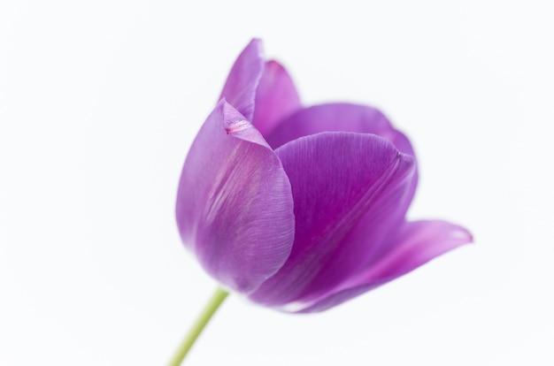 Крупным планом розовый тюльпан цветок изолирован на белом фоне с пространством для вашего текста