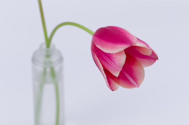 白い背景で隔離のピンクのチューリップの花のクローズアップ