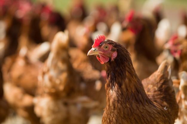 Крупным планом красный цыпленок на ферме на природе куры на свободном выгуле куры фермы гуляют на свежем воздухе