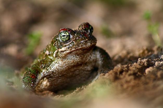 ランニングヒキガエル(epidalea calamita)、地中海の動物相、スペインのクローズアップ。