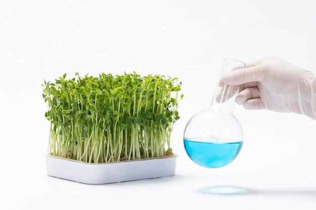 실험실에서 완두콩 콩나물에 대한 독성 물질을 준비하는 과학자의 근접 촬영