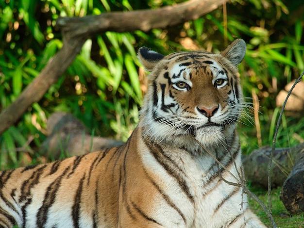 Крупный план амурского тигра, лежащего на земле в окружении зелени под солнечным светом