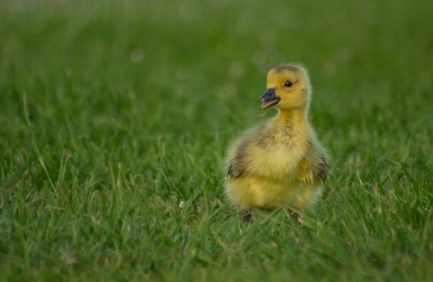 잔디밭에 작고 사랑스러운 솜털 노란 오리의 근접 촬영