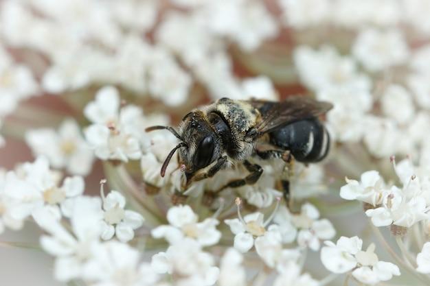 Крупным планом маленькая горная пчела andrena coltiformis на белом цветке
