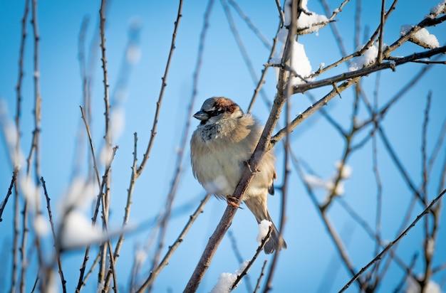 日光の下で霜に覆われた裸の木の枝にとまるスズメのクローズアップ