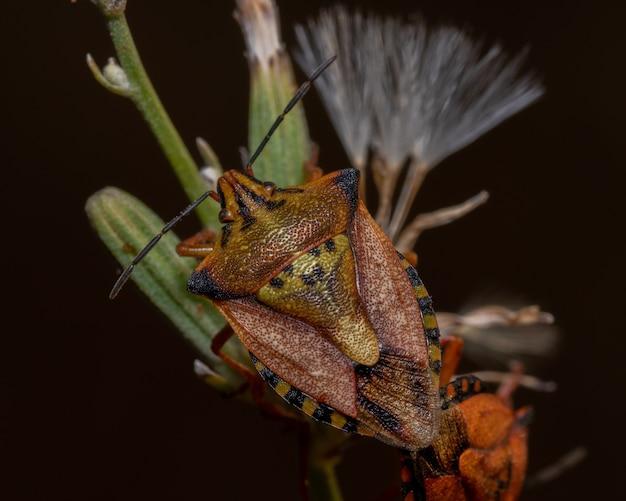 햇빛 아래 들판에 있는 식물에 있는 악취 벌레의 근접 촬영