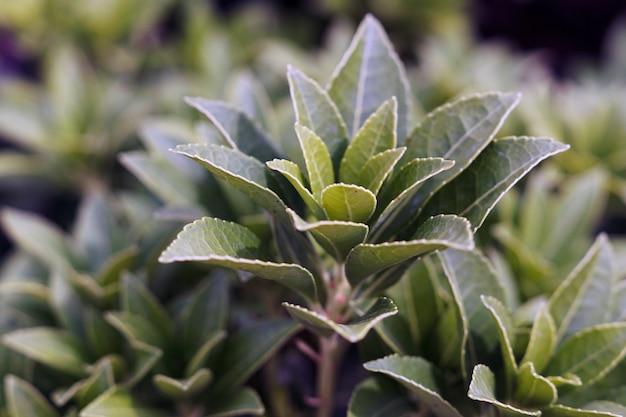 日光の下でフィールドの茶植物のクローズアップ