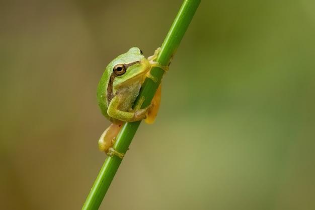 나뭇가지에 작은 유럽 나무 개구리의 근접 촬영