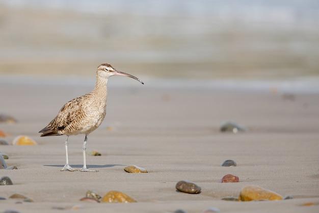 길고 가느 다란 부리를 가진 젊은 curlew 새의 근접 촬영, 해안을 걷고