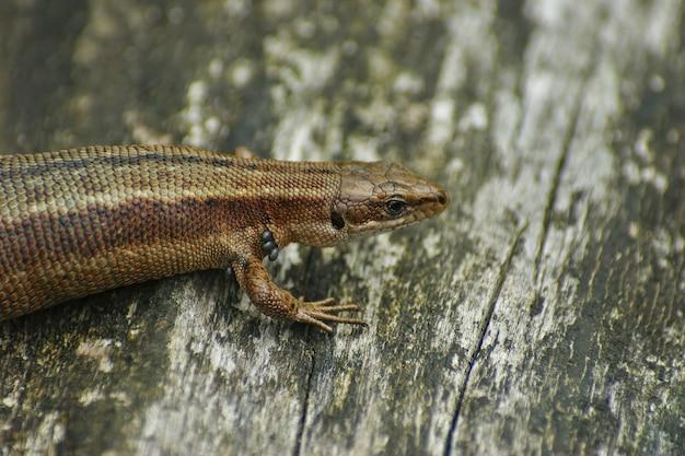나무 표면에 zootoca vivipare의 근접 촬영