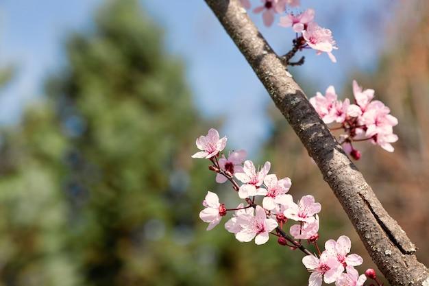 Крупным планом розовые цветы миндаля в солнечный день с размытым фоном растительности