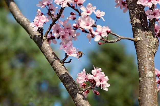 Крупным планом цветы миндального дерева