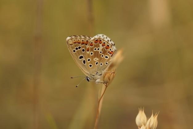 닫힌 날개를 가진 아도니스 블루(lysandra bellargus) 나비의 근접 촬영