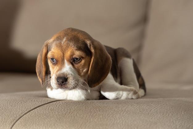 Очаровательный коричневый щенок бигля сидит на диване крупным планом