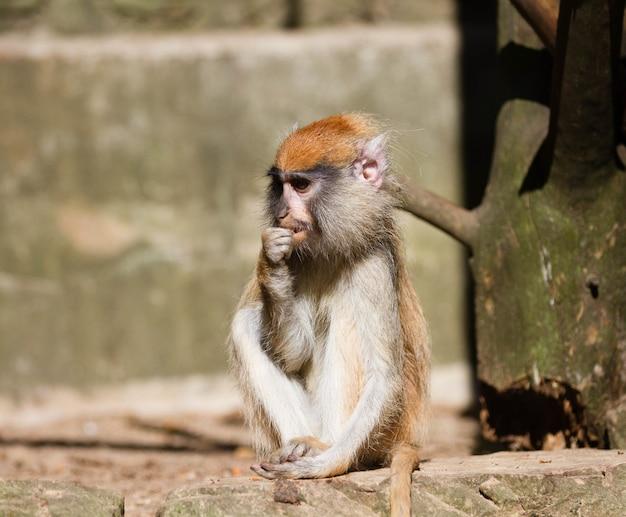 Очаровательная обезьяна патас сидит на стволе дерева крупным планом