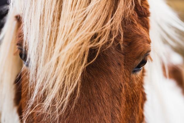 アイスランドの日光の下でアイスランドの馬のクローズアップ