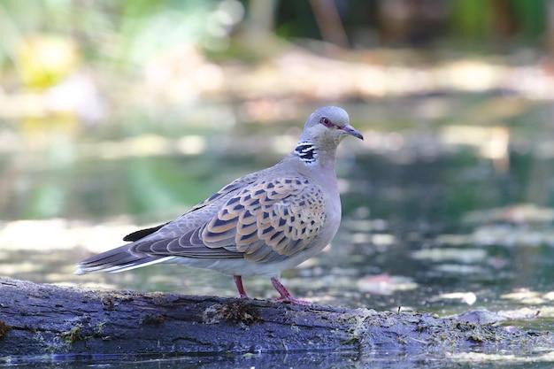 Крупным планом восточный голубь-черепаха, стоящий на дереве в озере под солнечным светом в дневное время