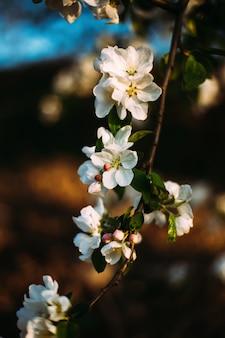 살구 꽃의 근접 촬영