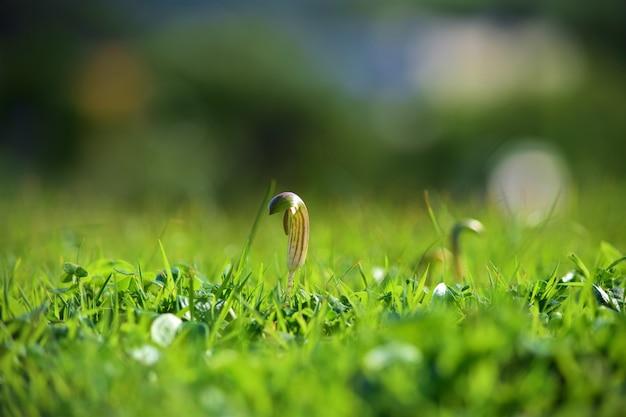 몰타의 햇빛 아래 녹지로 덮여 지상에 성장하는 arisarum vulgare의 근접 촬영