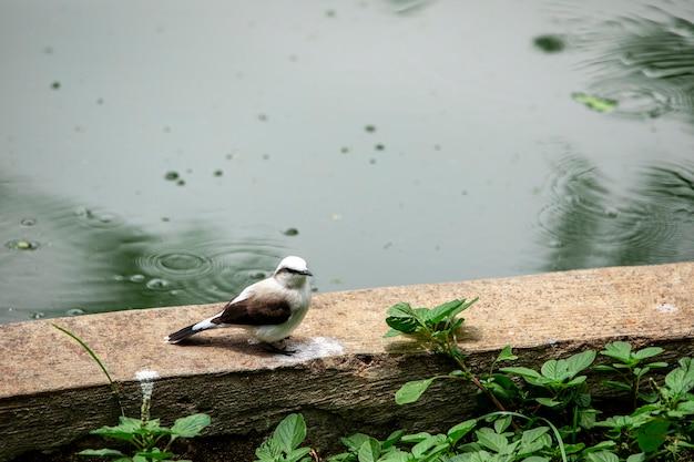 美しい鳥fluvicolanengetaのクローズアップ。