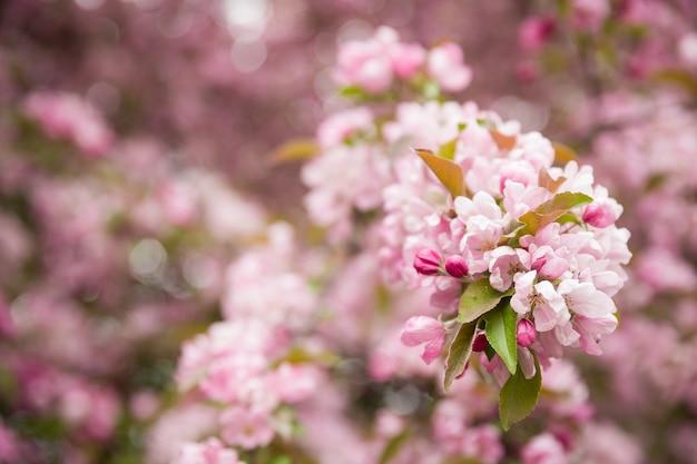 Крупным планом красивых цветущих розовых цветов яблони на ветвях